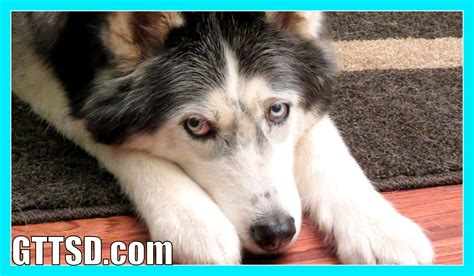 how much do breeders make how much does your fan friday 183 to the snow dogs siberian husky
