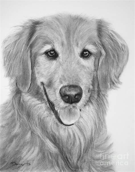 drawing of a golden retriever golden retriever sketch drawing by kate sumners