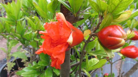 fiore melograno punica granatum vivaivalverde