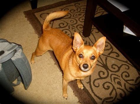 pinscher pomeranian mix pin by m h on pets 4 legged friends