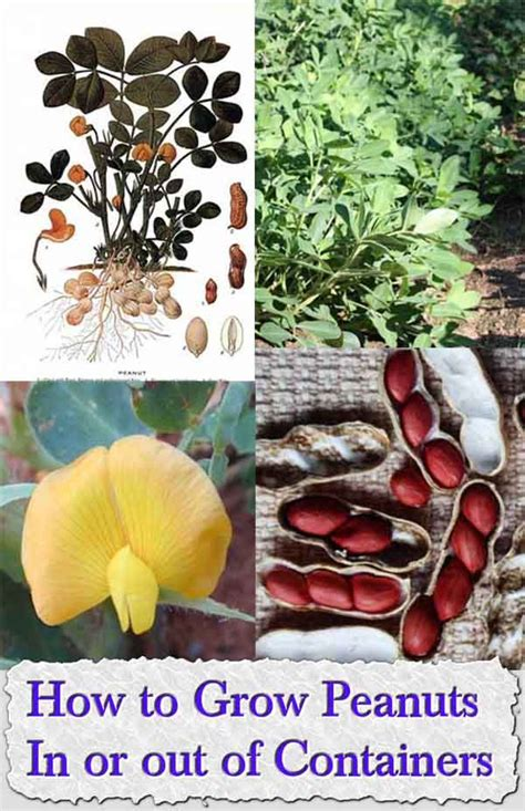 how to grow peanuts an easy guide for gardening beginners 1000 images about gardening on pinterest bonsai trees
