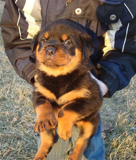 rottweiler puppies for sale in ga rottweiler puppies big boned for sale in breeds picture