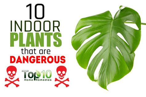 10 indoor plants that are poisonous and dangerous top 10