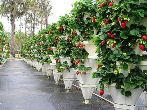 gardening hydroponics learn the amazing of growing fruits books green stem learning strawberry fields forever plans