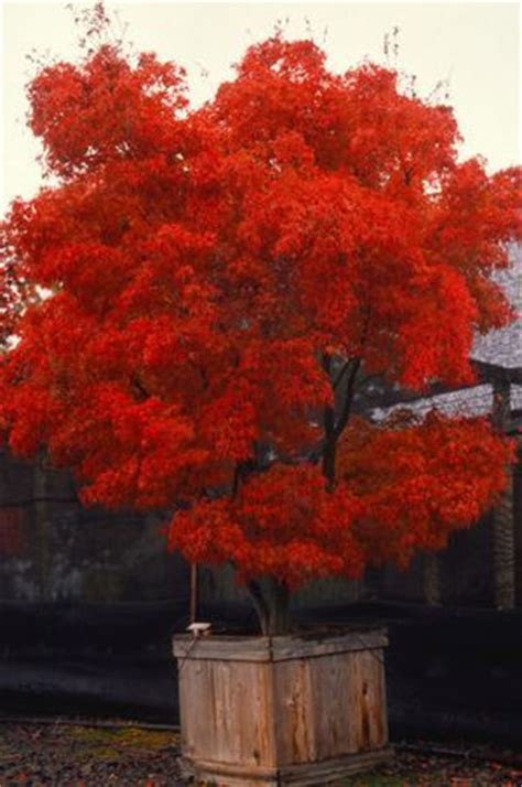 acer palmatum linearilobum red cloud red cloud upright japanese maple zone 5 8 height 6 8