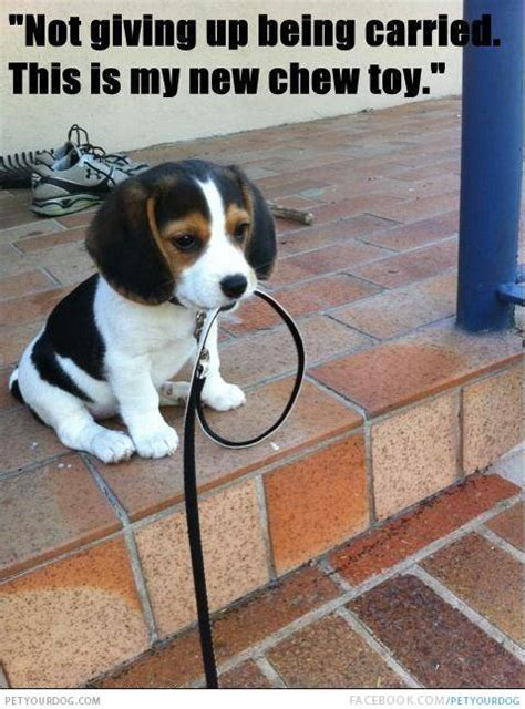 funny beagle quotes image quotes  relatablycom