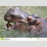 Hippopotamus Face In Water   1300 x 957 jpeg 485kB