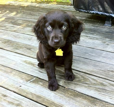 boykin spaniel puppies boykin spaniel puppy obsessed trees spaniels and nu est jr