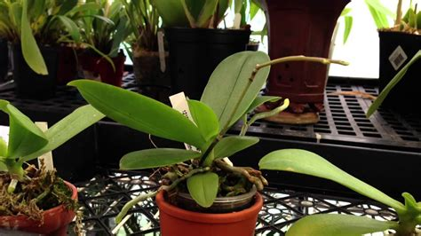 care  orchids rebloom  phalaenopsis orchid