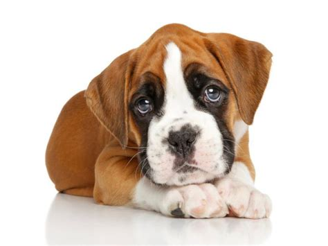 boxer puppies for sale boxer puppies for sale in san diego national city puppy
