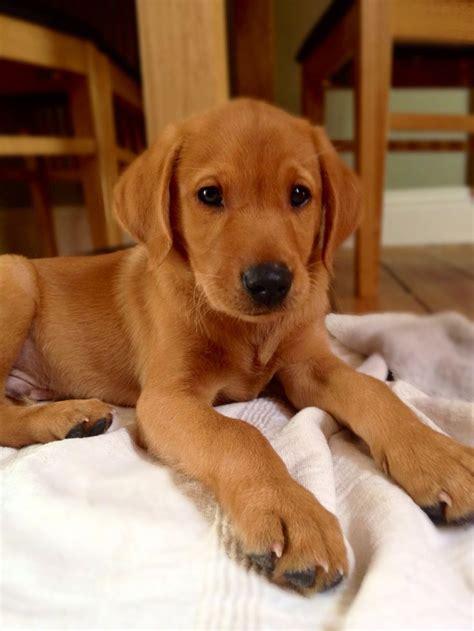 fox lab puppies 25 best ideas about labrador on lab fox labrador and