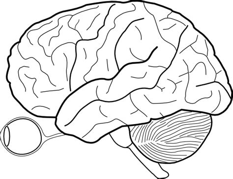 brain template human brain sketch with and cerebrellum clip at
