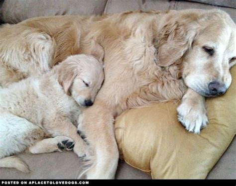 how much do golden retrievers eat golden retriever and puppy it s a thing