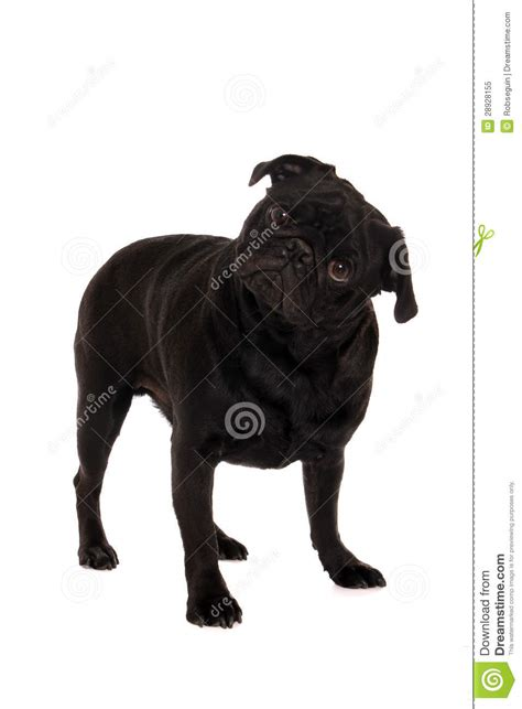 confused pug confused pug royalty free stock photo image 28928155