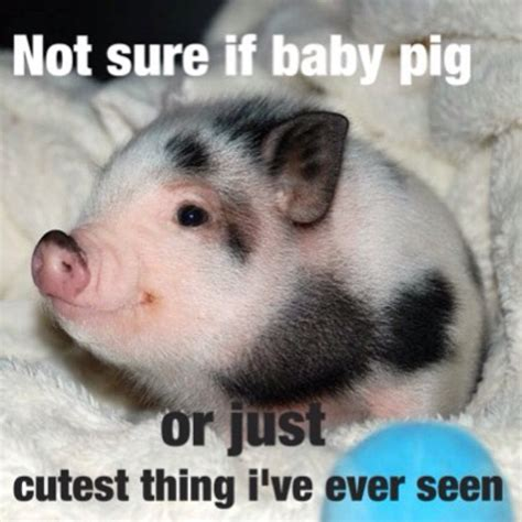 Pig Meme - funny baby pigs www pixshark com images galleries with