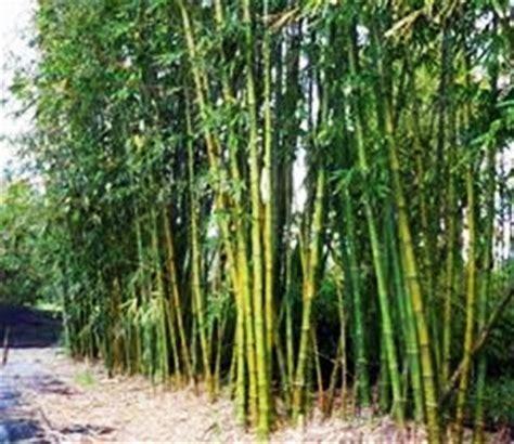 Bambu Air Tanaman Jenis Tanaman Air tulisan calon petani bambu tanaman multiguna pencipta mata air
