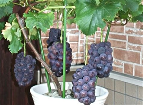 Bibit Buah Naga Ungu mari menanam anggur dengan menggunakan pot cara menanam