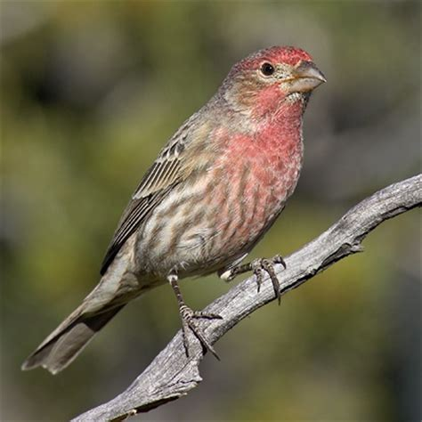 house finch bird finches big dog s bird blog