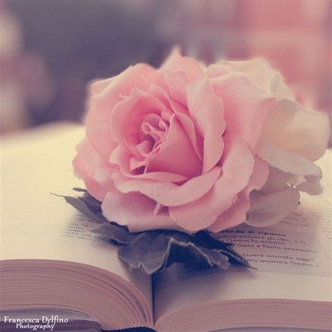 rose themes tumblr pink roses photography tumblr www pixshark com images