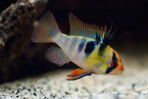 blue ram blue ram cichlids american cichlids fish