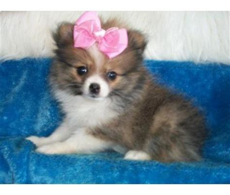 teacup pomeranian mix dogs pomeranian teacup puppies