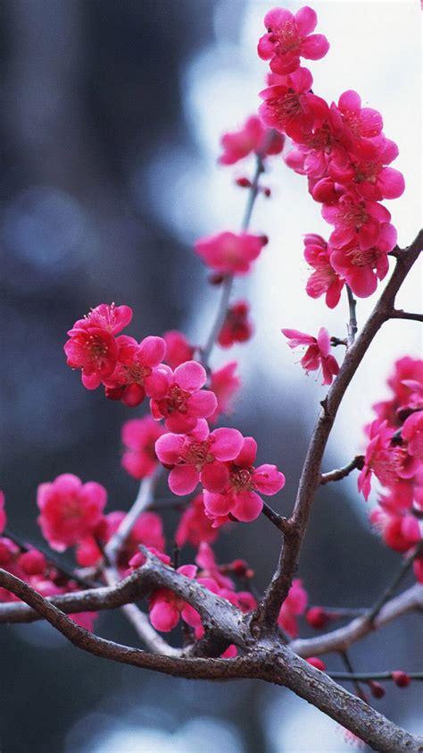 cherry blossom iphone hd wallpaper pixelstalknet