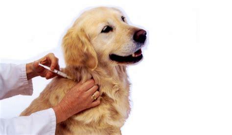 puppy vaccination vaccinating your pet rspca bolton