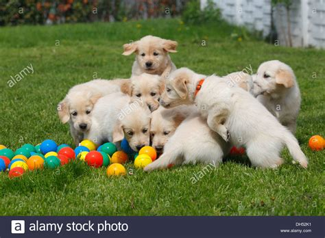 play with puppies golden retriever puppies with balls on meadow germany stock photo royalty