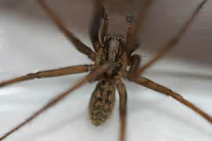 are barn spiders venomous house spider 2 notice the eight spiders are
