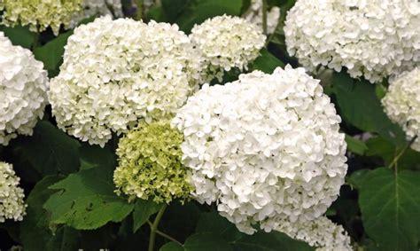 imagenes de hortencias blancas cultivo de hortensias en contenedor bricoman 237 a