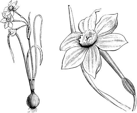 habit detached flower and portion of leaf of narcissus