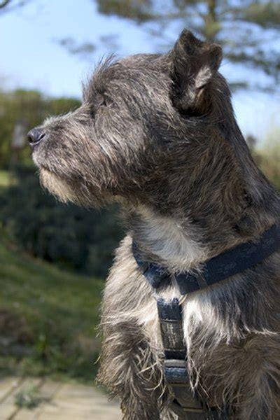 behavior   cairn terrier pets