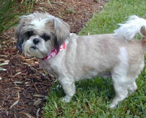 shih tzu for adoption shih tzu for rescue assistedlivingcares