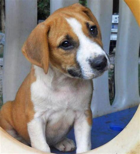 beagle mix puppy beagle mix puppies