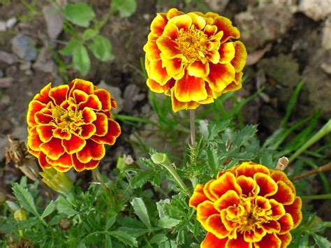 themes of the story marigolds marigolds short story essay contests