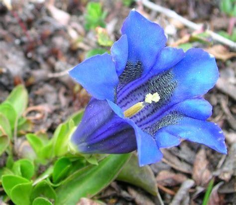 genziana fiore gentiana acaulis l genziana di koch