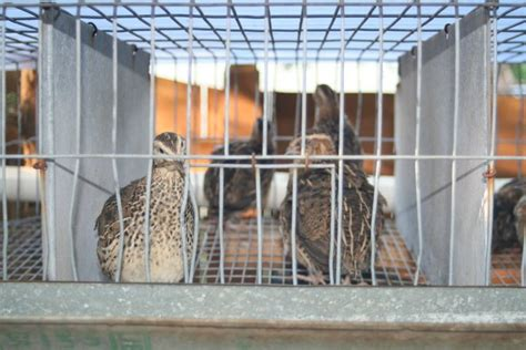 backyard quail one of the nicest quail pens i houses plans designs
