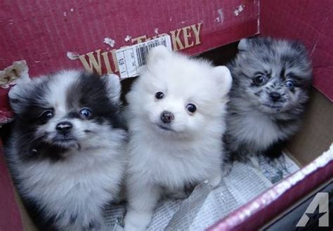 pomeranian for sale orlando pomeranian puppies small colors for sale in orlando florida classified
