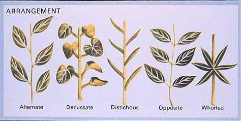 the pattern of leaf arrangement is called leaves