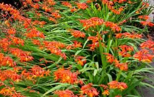 Flower Plants For Garden Montbretia Flower Finder
