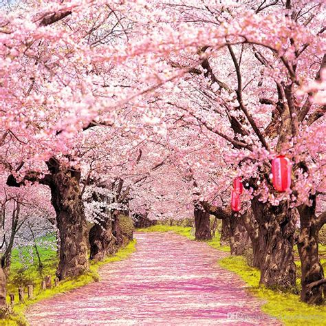 outdoor tree cherry blossom 2018 pink cherry blossoms photo shoot backgrounds trees with lanterns outdoor scenic