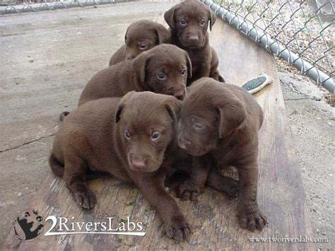 labrador puppies indiana new arrivals