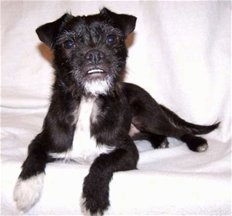 russel terrier pug mix jug breed information and pictures