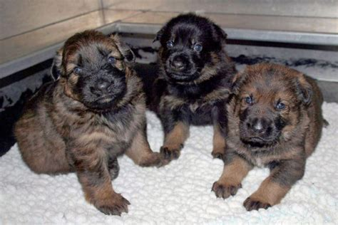 how till puppies open their rcmp asks to help name 13 new puppies toronto