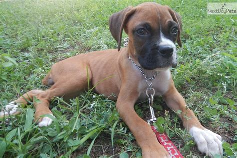 boxer puppies nc boxer puppy for sale near raleigh durham ch carolina 651d2fbd 7131