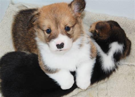 corgi puppies mn corgi of farms hastings minnesota