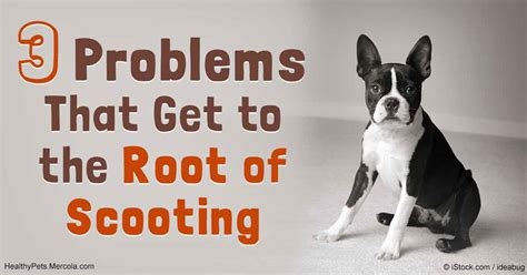 Dogs Scooting But On Floor by 3 Problems That Can Make Your Scoot