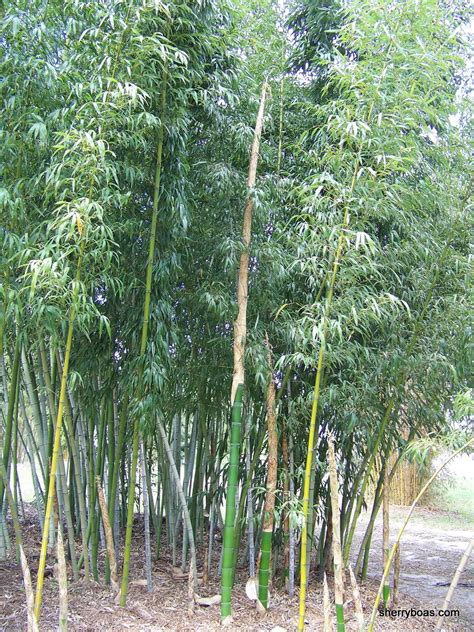 beautiful bamboo bamboo the fastest growing plant on earth