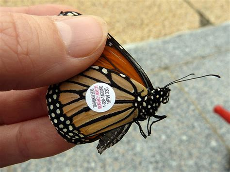 monarch watch migration tagging tagging monarch butterfly tagging 2012 flickr photo sharing