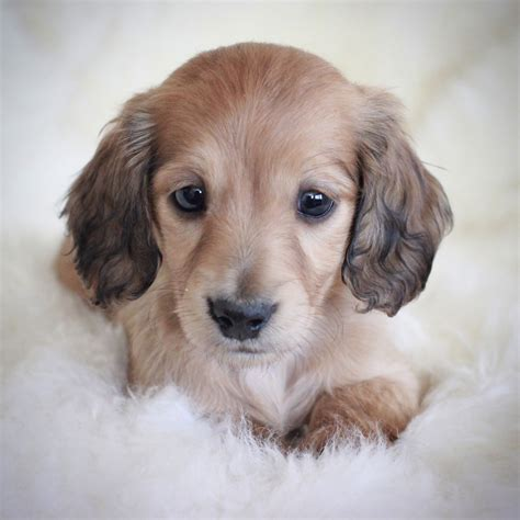 haired dachshund puppies puppies crown dachshunds